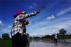 เกษตรจังหวัดยะลา นำร่องทำนาโยน เพื่อลดต้นทุนและเพิ่มผลผลิตแก่เกษตรกรในพื้นที่