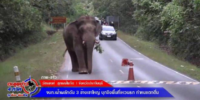 ปราจีน – จนท.เฝ้าผลักดัน 3 ช้างเขาใหญ่ บุกชิงพื้นที่เหวนรก ทำ นทท.แตกตื่น